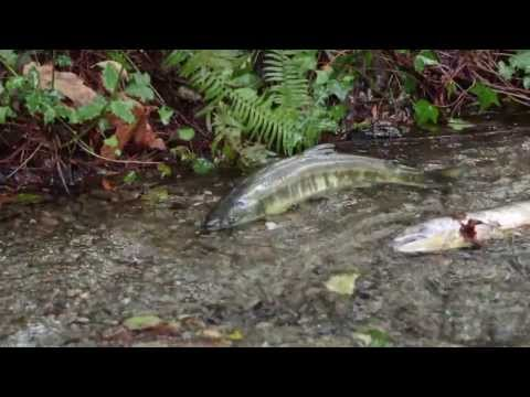 Atlantic Salmon R Now Dead Rip But Fish Couldn T Hear
