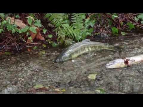 Salmon swimming upstream to spawn
