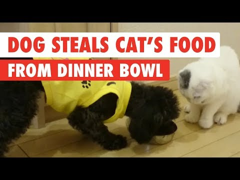 Dog Steals Cats Food From Dinner Bowl