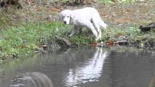 15歳を過ぎた狩猟犬スノーのラストシーズン、第2弾 貯水池のカモを追...