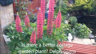 Massive Lupin Plant, Prize Winner, English cottage garden