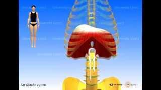 Muscle diaphragme, périnée simplifié (ancienne conception), muscles intercostaux.