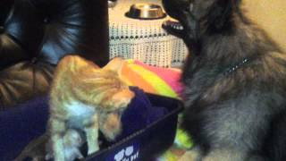 ママ猫の「猫パンチ」に一発KOのワンコ