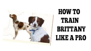 how to house train a brittany spaniel