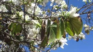 Белая Красавица-Баухиния -Орхидейное дерево!!!Кирьят-Ям.Израиль.