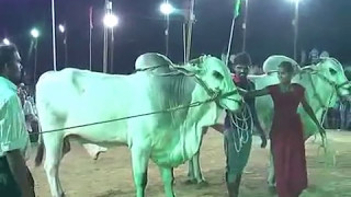 Women vs Ongole githa (bull)race  బరి లో గిత్తల ను పరుగులెత్తించిన మహిళ  ఒంగోలు జాతి గిత్తల పోటీలు
