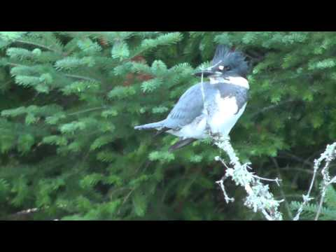Rare Footage Kingfisher Sitting Over Water By WillCFish Tips And Tricks.