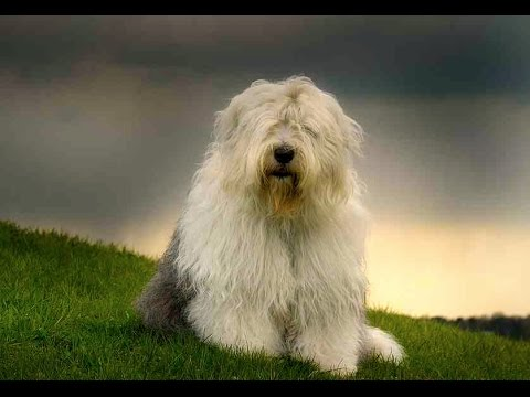 Old English Sheepdog (Bobtail) - Dog Breed