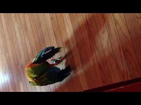 Rubalina Macaw