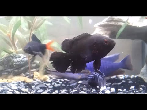 Can Oscars live with African Cichlids? Aggresive tank mates Part 1