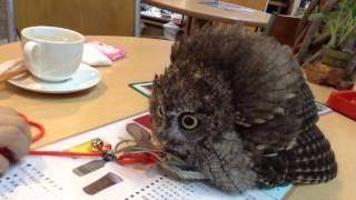 フクロウのクウちゃん、威嚇? / A Screech Owl being scared of an owl puppet.