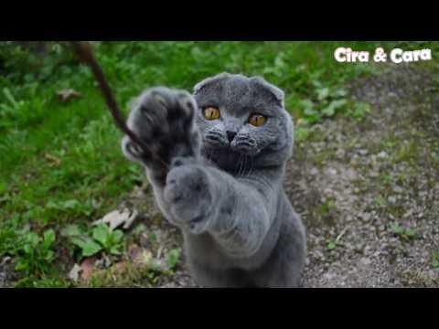 Funny & Sweet British Shorthair Cats Cira & Cara having outdoor fun!