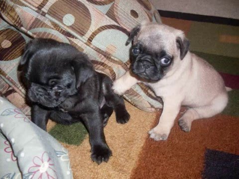 Pug Puppies For Sale Youtube
