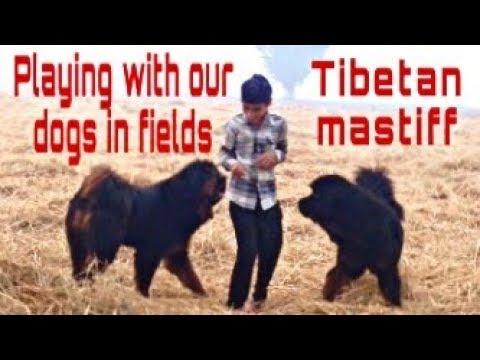 Tibetan mastiff dog playing in fields | tibetan mastiff dogs in punjab| +919417730301