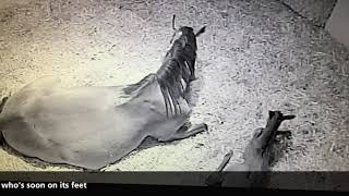 Ever seen a racehorse being born?