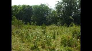 Clearing Land With Cattle & A Brush Hog, Overgrown Pasture