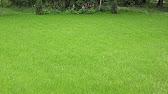 Семена газона | Травосмесь гном - газон, который нужно редко .