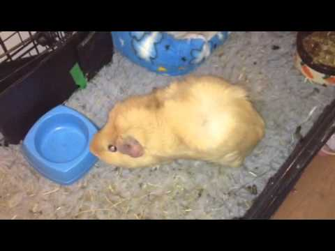 More guinea pigs hiccups