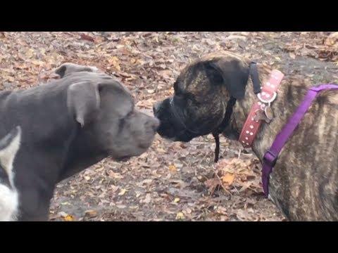 A Muzzled Bullmastiff Gets Nippy