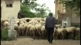 Fantasticna prica o stadu od 1000 ovaca koje se muze na pasnjacima MP3