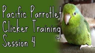 Ellatheparrotlet: Clicker Training Pacific Parrotlet Day 4