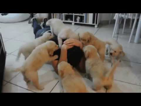 The Attack of Puppies Golden Retrievers