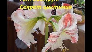 Гиппеаструм. Секрет цветения. Особенности полива