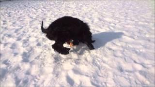 Adopt Sambuca, The Cocker Spaniel!