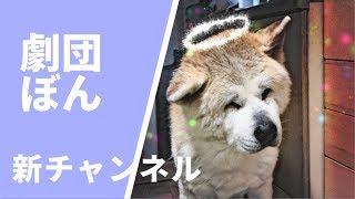 劇団ぼん、秋田犬ぼんちゃんを座長とする犬猫の愉快な仲間たち。彼らの...