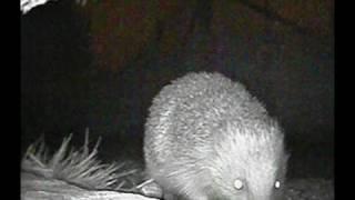 A Passing Hedgehog