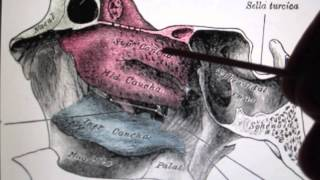 The ethmoid