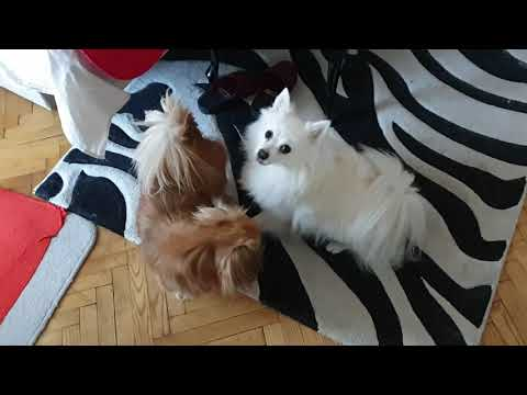 Morning With Two Playful Breeds - German Spitz vs. Pekingese