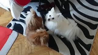 Morning With Two Playful Breeds  German Spitz vs. Pekingese