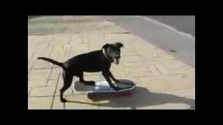 Daredevil Pooch! Meet Harry The Skateboarding Dog