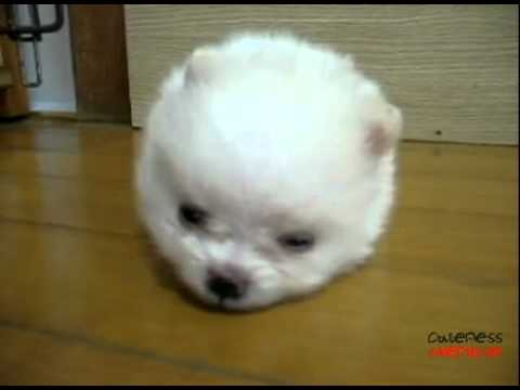 snowball dog youtube