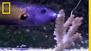 These Slimy Fish Lips Are Made for Eating Coral | National Geographic