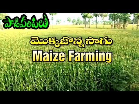 Success Story of Maize Farming in East Godavari | Paadi Pant