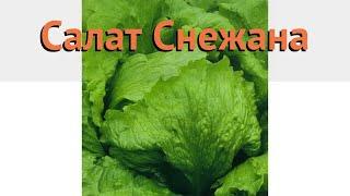 Салат обыкновенный Снежана Кочанный (snezhana) 🌿 обзор: как сажать, семена салата Снежана Кочанный