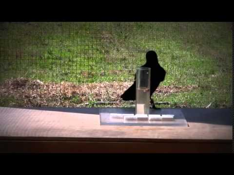 Интеллект ворон поразил ученых Causal understanding of water displacement by a crow