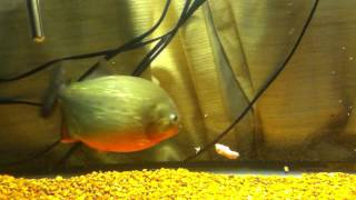 feeding my beautiful prize 7 5in female red belly piranha in her own 75g tank may breed her soon
