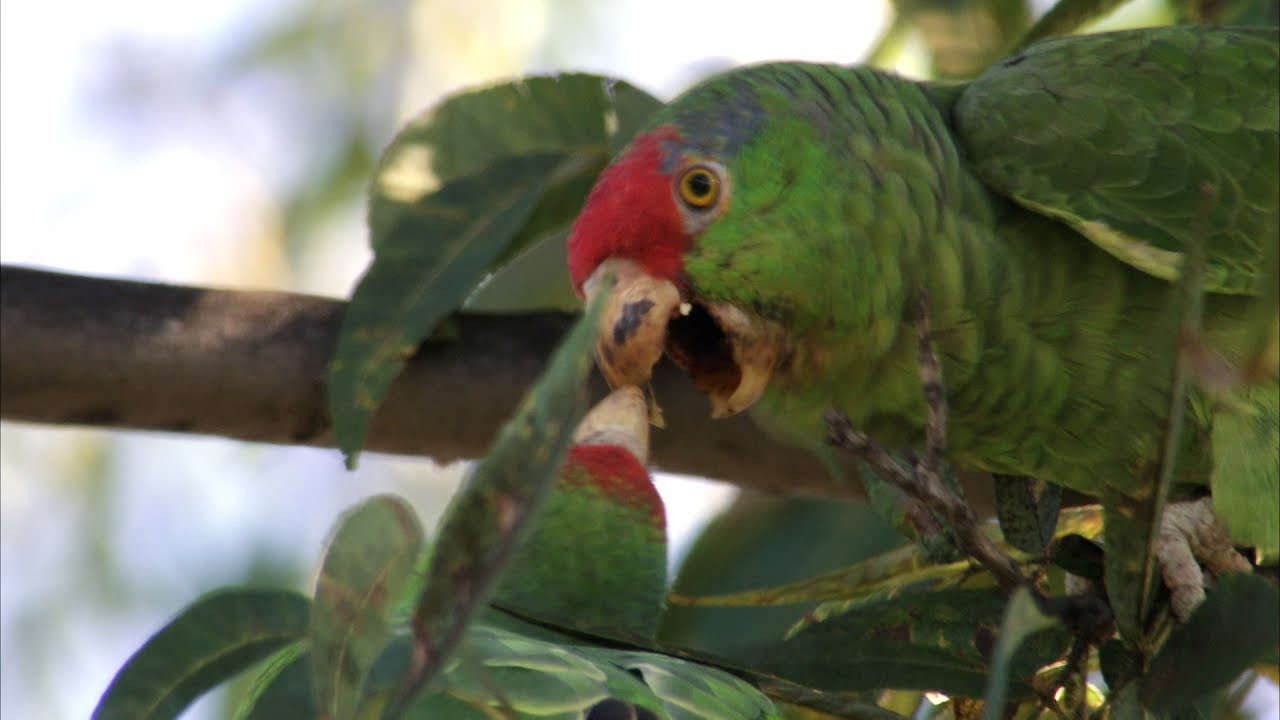 red crowned parrot youtube