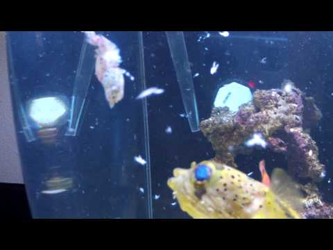 Aquarium Porcupine Pufferfish feeding on live Shrimp