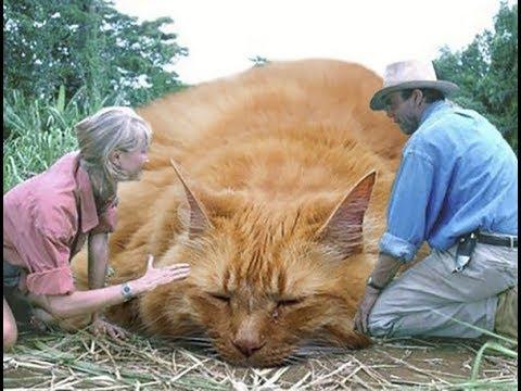 Питомник кошек абориген / россия, москва, москва питомник норвежских лесных кошек
