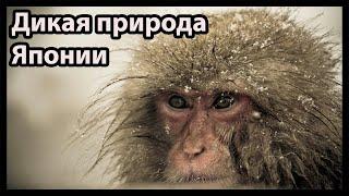 Дикая природа Японии (Снежные обезьяны и вулканы)