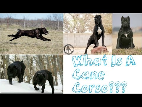 What Is A Cane Corso???