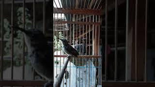 Gambar cover Kolibri Ninja Trotol Gacor Bongkar Isian Tembus