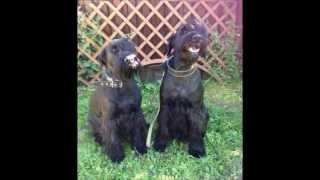 фонд помощи шнауцерам, собаки на пристройство
