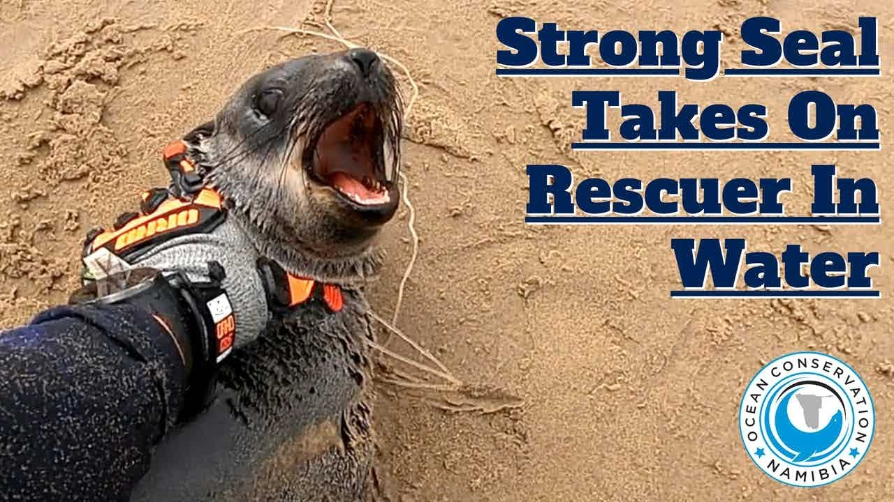 Strong Seal Takes On Rescuer In Water