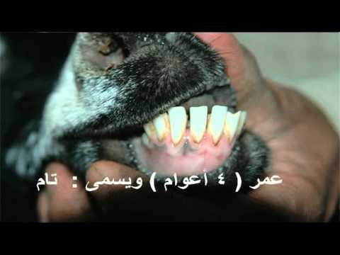فديو لـ معرفة عمر الأغنام و الماعز بالصور Youtube