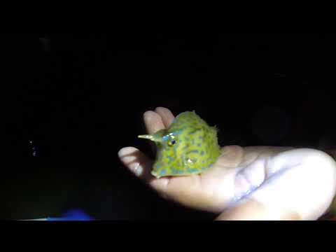 Long Horn Cow Fish Caught While Shrimping at night Quick Video
